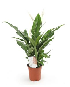Spathiphyllum-Sweet-Chico-Air-so-pure