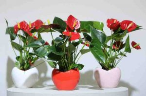 Anthurium_in_hartvormige_pot