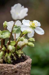 Helleborus_close_up