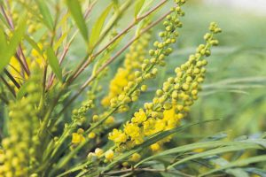 Mahonia_Soft_Caress_close
