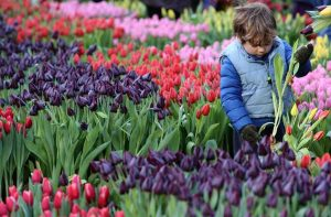 Nationale_Tulpendag