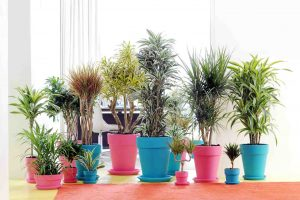 dracaena_in_potten