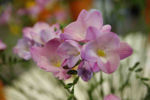 roze_freesia