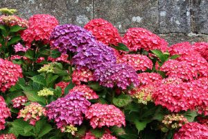 Hortensia_mix_rood