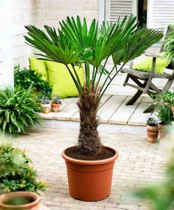 trachycarpus_rob_24 september
