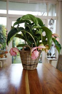 medinilla in Robs Grote Tuinverbouwing, Plantplezier