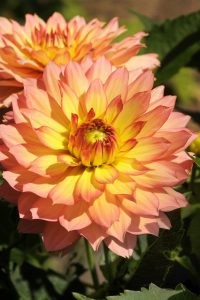 Dahlia 'Bridge View Aloha'