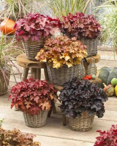 heuchera collectie