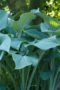 Hosta nigrescens ´Krossa Regal´
