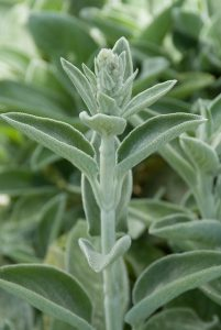 Stachys byzantina 'Big Ears'